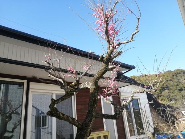 時代に咲き続ける梅の花